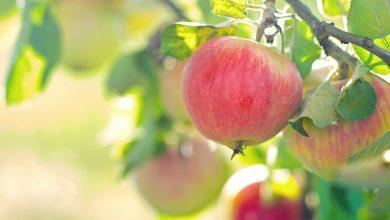 Drzewa owocowe – jak i czym je nawozić?