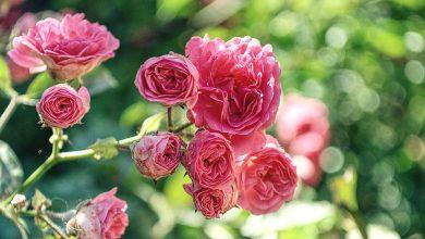 Ogród różany – wszystko co musisz wiedzieć o jego zakładaniu