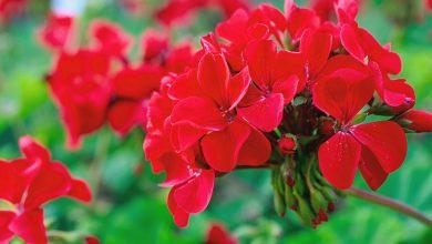 Pelargonie – jak je sadzić i pielęgnować?